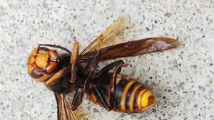 仙台ハチの巣・スズメバチの巣駆除作業